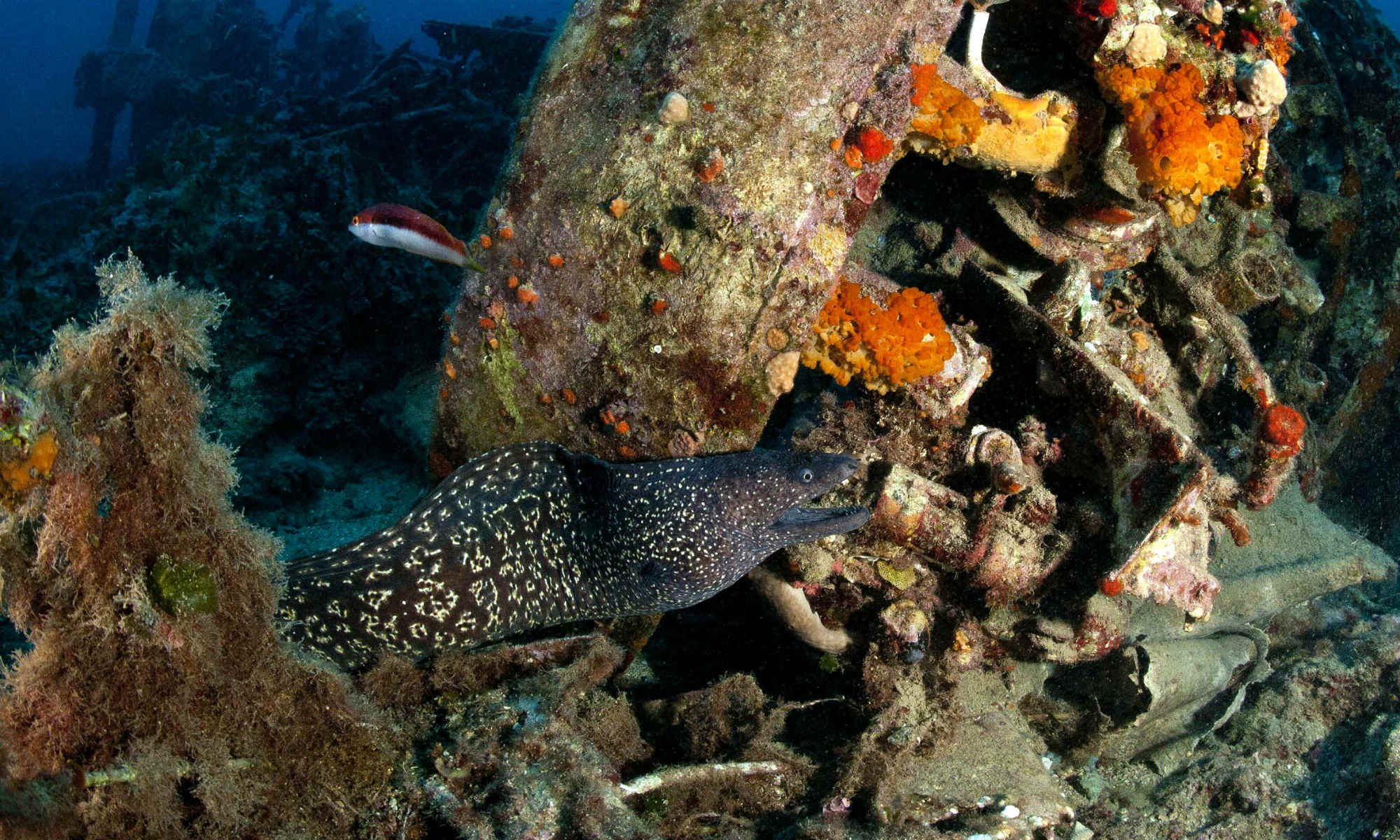 A moray eel is swimming past the Bristol Beaufighter aeroplane wreck, as captured by an underwater photographer scuba diving in Malta.