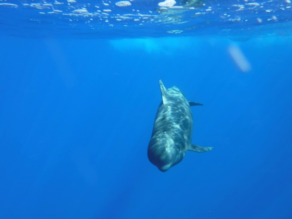 A dolphin swims off the coast of Teenrife.