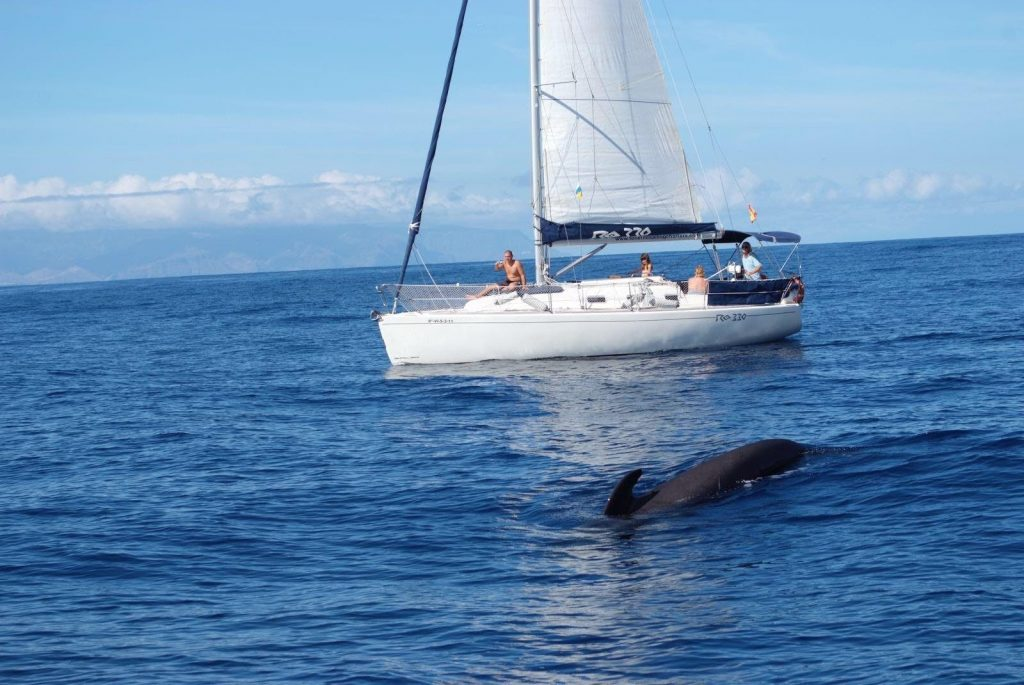 A dolphin swims close to the sailing boat.