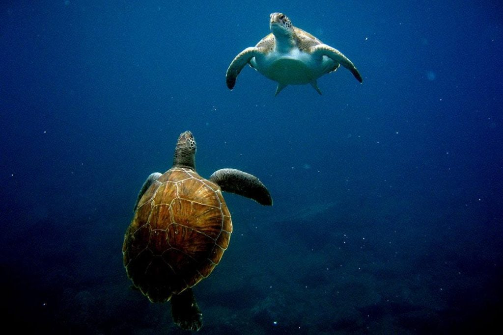 Two sea turtles are spotted during a boat trip from Tenerife.